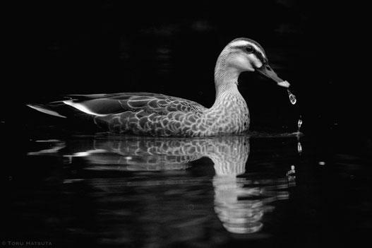 子育てを終えたカモ、巣立った鴨たちが水辺に(with Fujifilm X-T20)