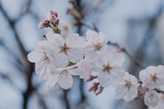 2019年の東京の桜が咲きました(Fujifilm X-Pro2)
