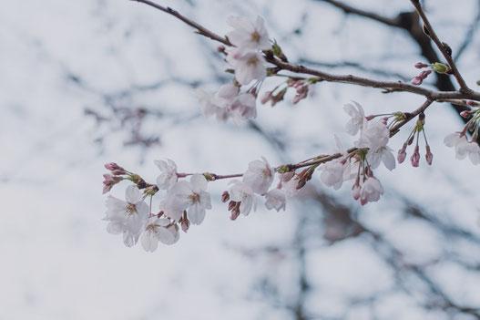 三分咲きの桜もあれば、五分ほどの木も(Fujifilm X-Pro2)