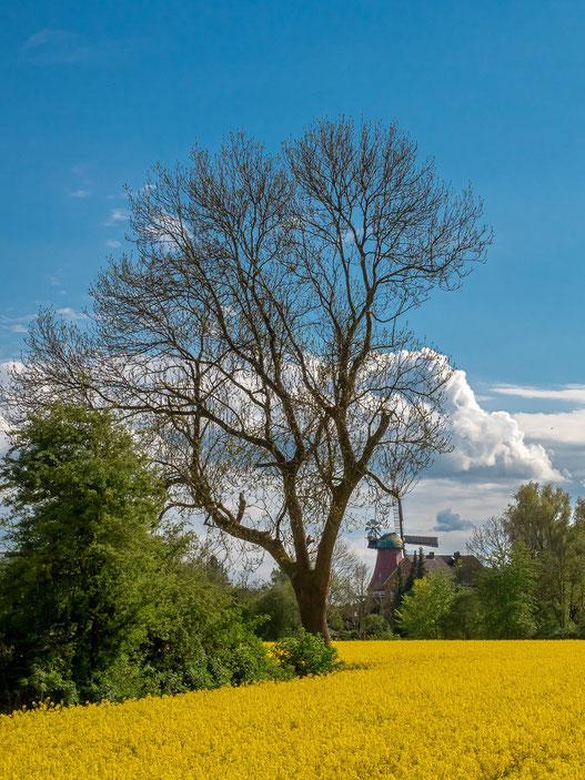 Baum, Raps, Reitbrook, Reitbrooker Mühle