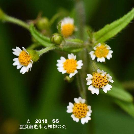 渡良瀬遊水地に生育するハクダメギク(花)の画像