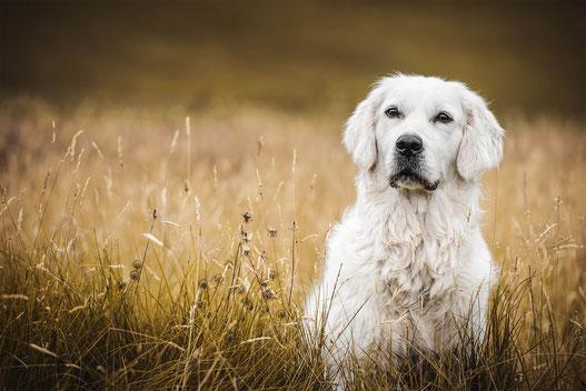 Golden Retriever sitzt im Gras festgehalten von der Hundefotografin Monkeyjolie