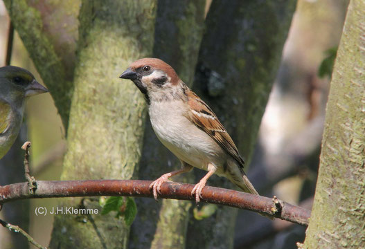 Feldsperling (Passer montanus) adulter Vogel [Mai]