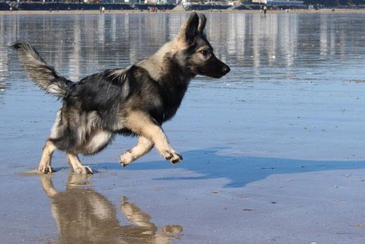 Altdeutsche schäferhund Bretagne argenté Chien de berger d'Allemagne de l'Est