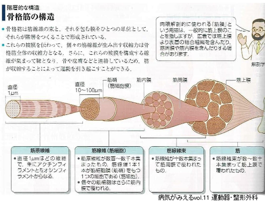 骨格筋の構造と筋膜