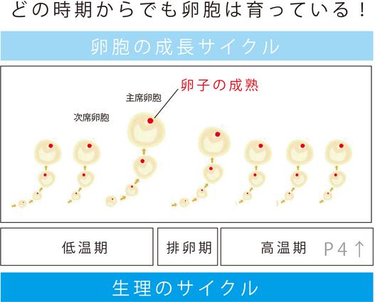 卵胞は生理中のどの時期からでも育っている。