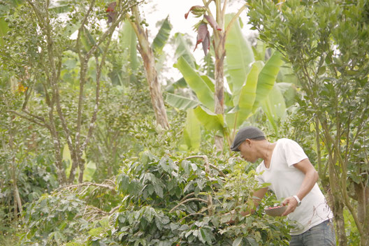 bali kintamani coffee farmer