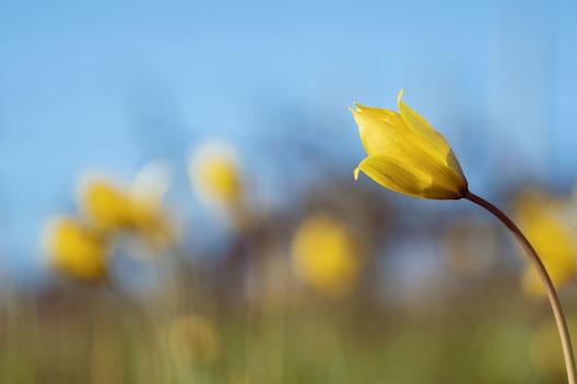 anjou, maine et loire, tulipe sauvage,stephane moreau,photographe,chalonnes sur loire
