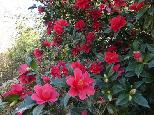 Camellia 'Freedom's Bells' le 28 février 2021