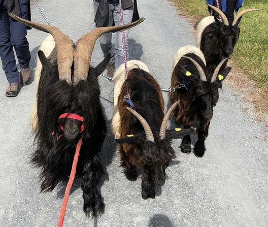 Die Walliser Schwarzhalsziegen züchten wir vorest nicht. Sie sind Teil unserer Trekking Gang