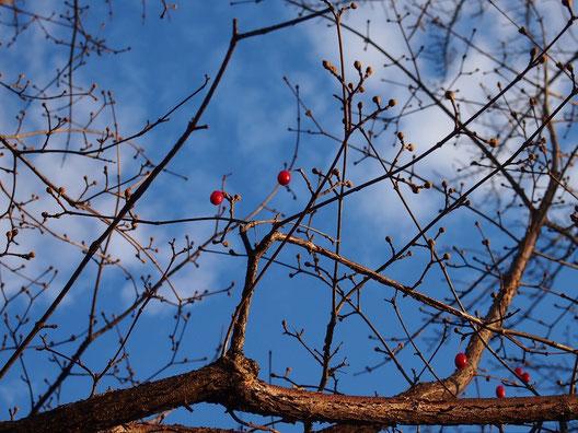 12月8日(2014) サンシュユの赤い実と冬空:武蔵野公園の苗圃にて