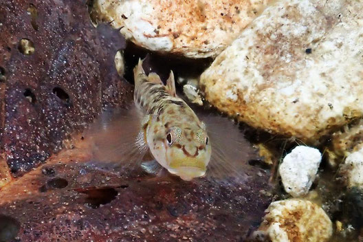 この魚は川底近くにいることが多いようです。 つぶらな瞳でカメラを見つめています