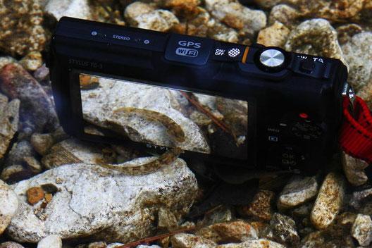 水中にカメラを沈めると「これなあに?」と好奇心旺盛な魚が寄ってくる。 かわいい。