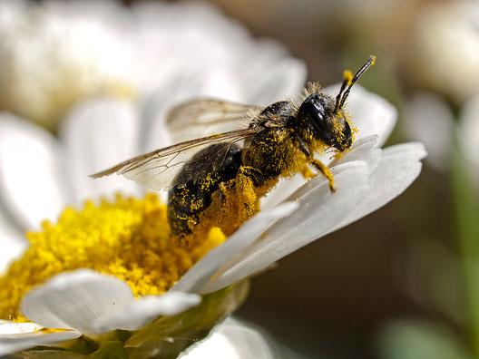 Wildbiene - Foto: Kathy Büscher