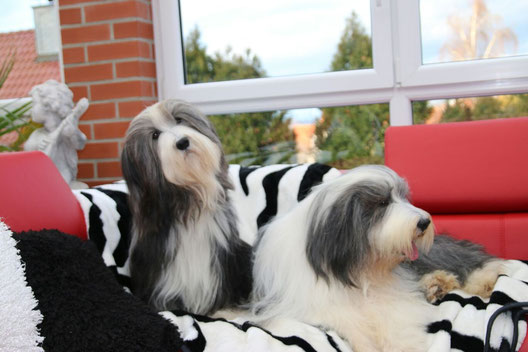 Ch. Tolkien's Dream Kalome (genannt Abby) und Ch. Bonny and Clyde's Armani Mania