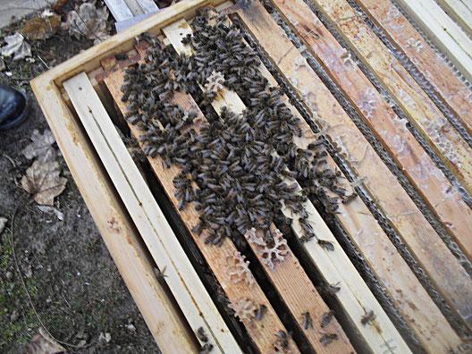Tote Bienen sitzen in der Beute noch in der Wintertraube.