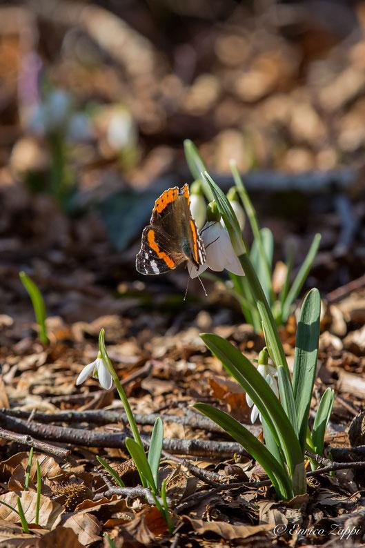 Vanessa atalanta (Linnaeus, 1758) su Bucaneve (Galanthus nivalis, Linnaeus 1753). L'adulto dell'ultima generazione dell'anno della Vanessa Atalanta, alle nostre latitudini, sverna andando in ibernazione e proteggendosi in anfratti naturali; in inverno, in