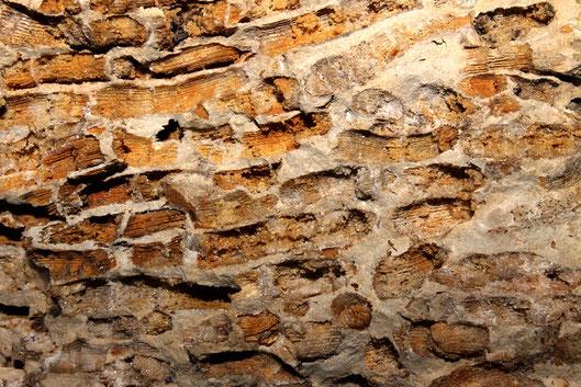 Porzione di un masso di circa 10kg completamente costituito da Cladocora caespitosa (valle del Mignone)