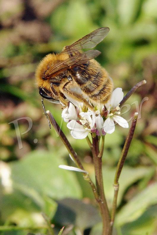 Bild: Sandbiene, Andrena spec., Blüte, Behaartes Schaumkraut
