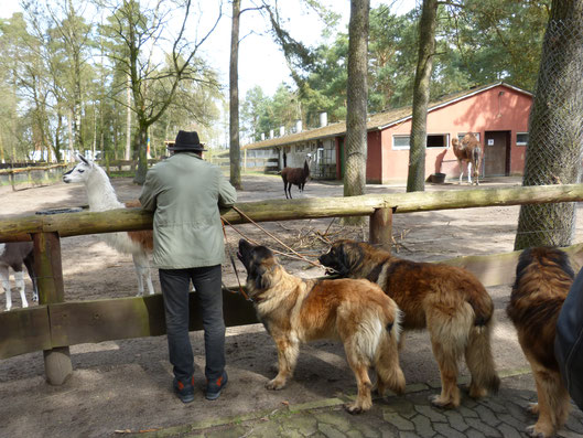 Bei den Alpakas