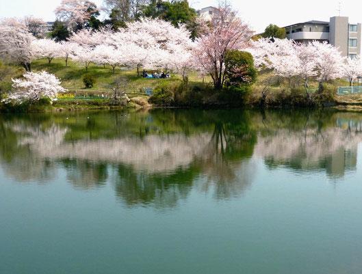 桜が二倍楽しめる!!(薩摩(さつま)池・白島3丁目)