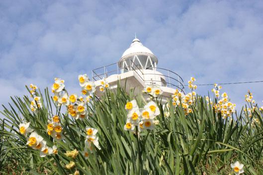 現役の灯台と水仙の風景
