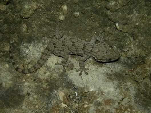 Muurgekko (Tarentola mauritanica)