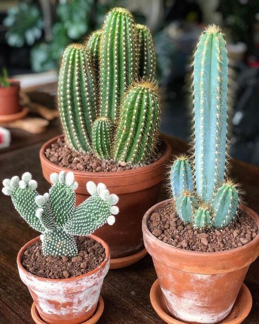 Cactus, crasas y suculentas en Tenerife