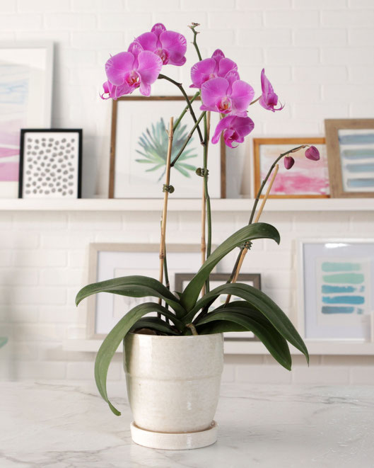 Orquídeas de interior en Tenerife