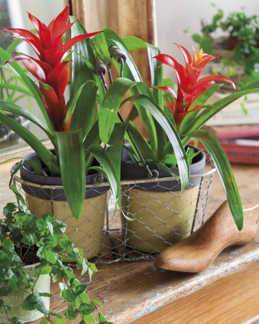 Plantas de interior con flor en Tenerife