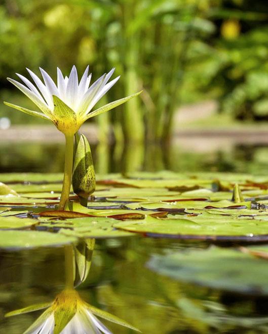 Plantas acuáticas en Tenerife