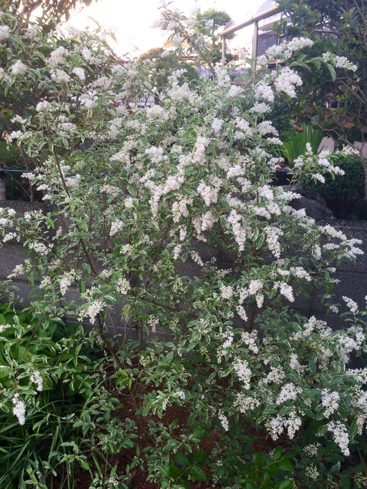 3月に植えたシルバープリペットなんですけど、急成長♪ 3ヶ月も経ってないのに30cmは伸びてるし!やっぱ地植えパワーって凄いわ! 花もカワイイし後2株ほど買っとこかな、。