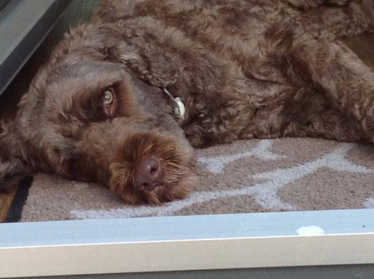 Portugiesischer Wasserhund entspannt auf seiner Decke.