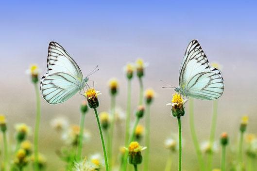 zwei Schmetterlinge auf Blüten in Balance