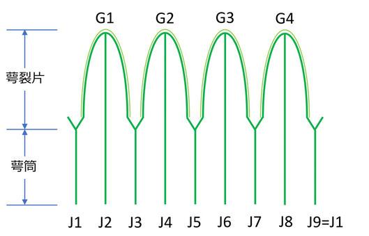 圖2 萼筒の条と萼裂片の模式図(全体の推測)