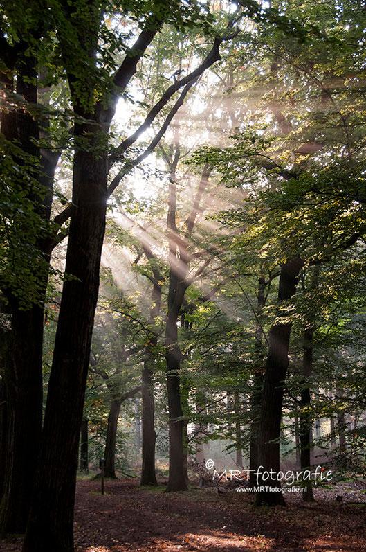 Zonneharp. Zonnestralen door het gebladerte in het bos