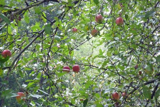 Äpfel, noch am Baum, im Neandertal