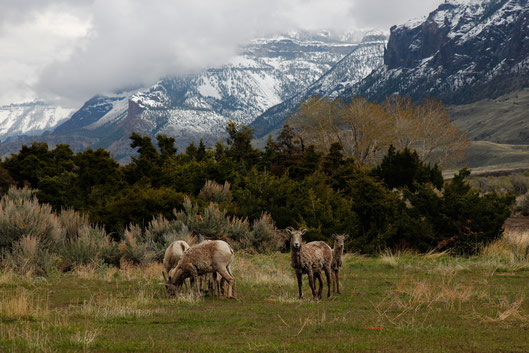 Bighorn Sheep in den Rocky Mountains, Wildlife, USA
