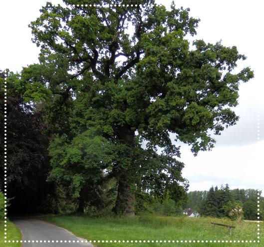 Le chêne des Ramolleux Crécy-en-Ponthieu Caumartin