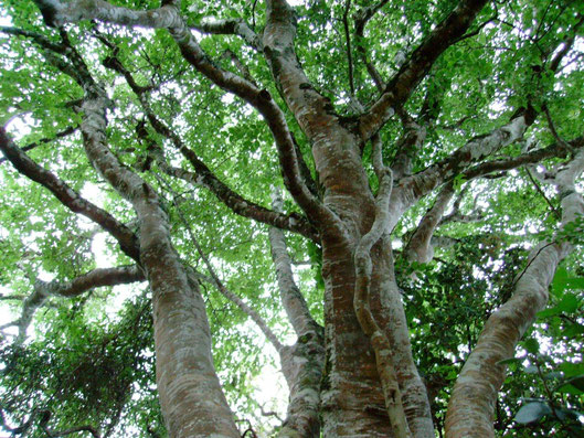 光の木 ホワイトスティンクウッド celtis africana