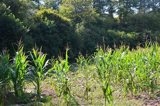 Wildschaden am Mais