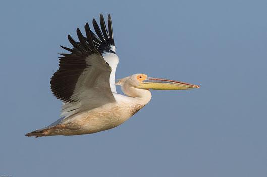 Pélican blanc oiseau Sénégal Afrique Stage Photo J-M Lecat Non libre de droits
