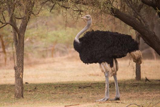 Autruche oiseau Sénégal Afrique Stage Photo J-M Lecat Non libre de droits