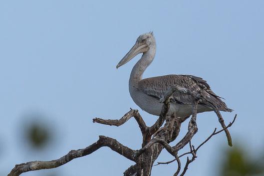 Pélican gris oiseau Sénégal Afrique Stage Photo J-M Lecat Non libre de droits