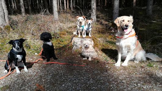 eine feste und gut harmonierende Hundegruppe bei Gassi Germering