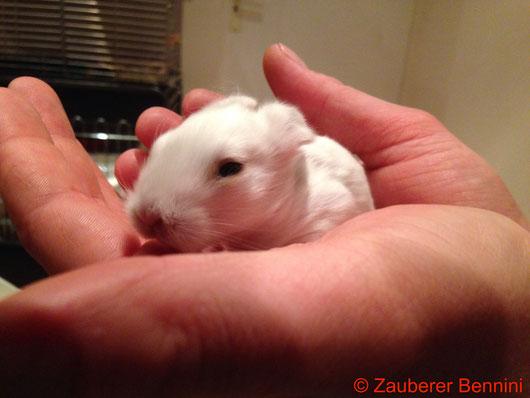 Irgendwie haben sie jetzt eine gewisse Ähnlichkeit mit kleinen Ratten oder großen Mäusen - nur eben mit größeren Ohren.