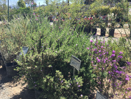 Drought tolerant shrubs with Texas Ranger in the foreground