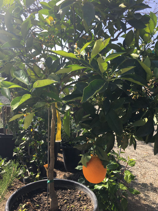 A Navel Orange may need to be covered