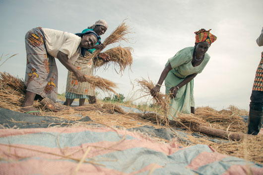Smart-Valleys: Women shaking out rice kernels from dried plantsduring rice harvest