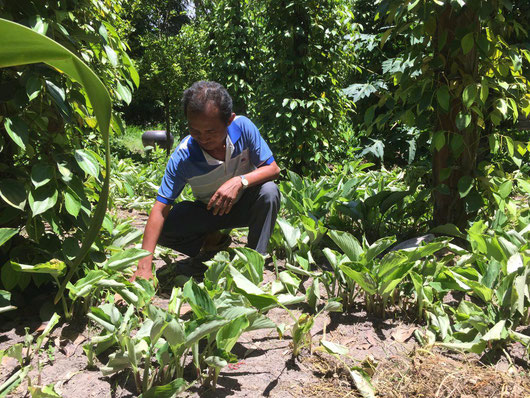 Black ginger farmer in Phnom Kulen National Park in Cambodia